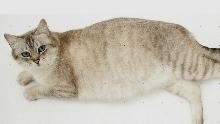 Как кормить кошку в период беременности?