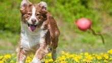 Как научить собаку играть