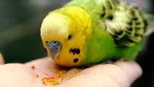 Чем кормить попугая