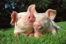 Проблемы ЖКТ у сельскохозяйственных животных